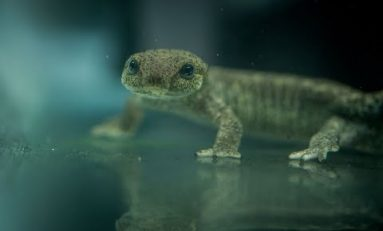 One of world's rarest amphibians successfully bred by conservationists at Chester Zoo