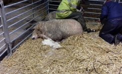 Police appeal for information following a livestock attack in Flintshire