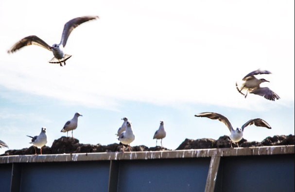 Prestatyn councillor says local authority has given up on seagull menace